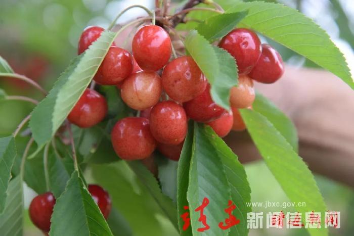 天賜灣鎮城河村櫻桃熟了!摘在手里,甜在心里!